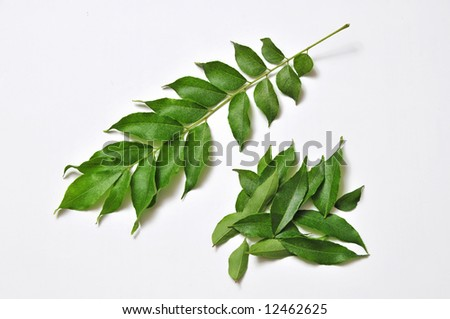 curry leafes from farm - stock photo