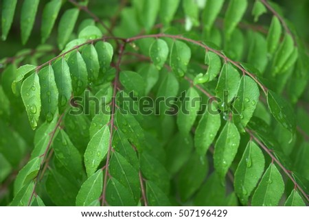 how to use curry leaf plant leaves