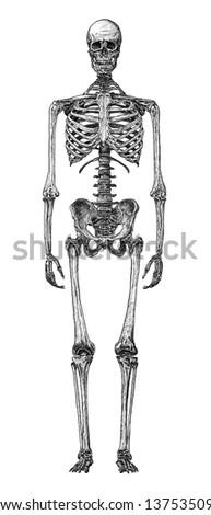 cursory drawing human skeleton on white background - stock photo