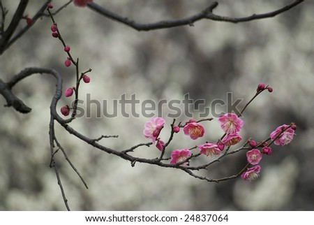 Curved brunches with pink plum blossom on the grey background - stock photo