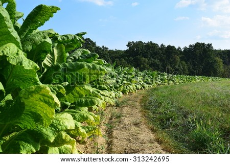Curved Row of Tobacco Plants