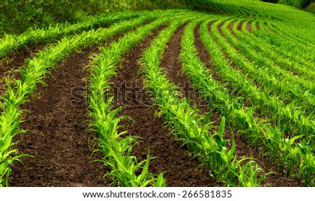 Curved rows of young corn plants on a moist field with dark soil, vibrant colors