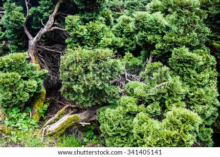 Curved trunk and branches of the Juniper, evergreen coniferous plant with scale-like leaves.