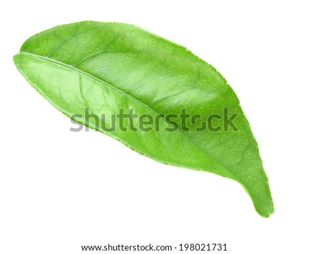 Curving a green leaf of citrus-tree. Isolated on white background. Close-up. Studio photography. - stock photo