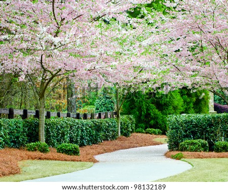 Curving residential sidewalk with blooming cherry trees during spring