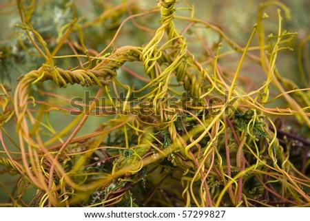 Cuscuta europaea / Cuscutaceae - stock photo