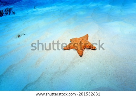 Cushion sea star (Oreaster reticulatus) on the sandy bottom of the caribbean sea  - stock photo