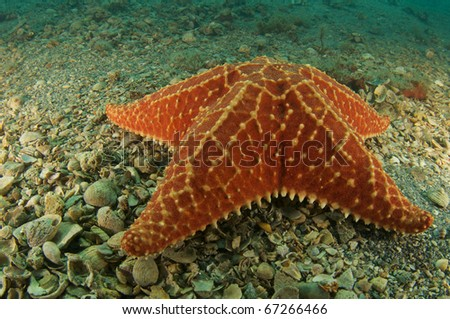 Cushion Sea Star, picture taken in Palm Beach County, Florida. - stock photo