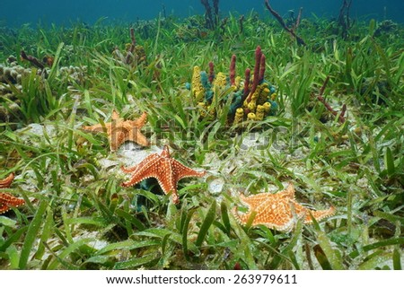 Cushion sea star undersea with colorful sponges on grassy seabed in the Caribbean sea - stock photo