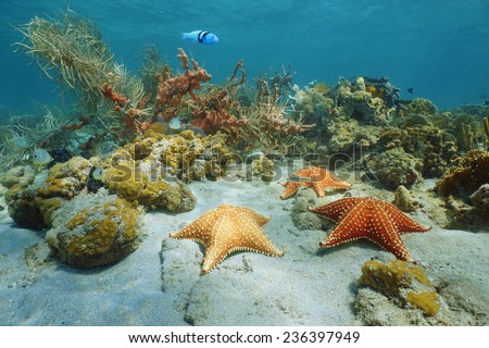 Cushion sea star underwater with coral and sponge, Caribbean sea - stock photo