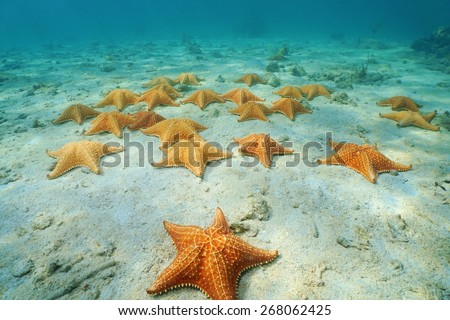 Cushion sea stars, Oreaster reticulatus, undersea on sandy seabed in the Caribbean, Panama, Central America - stock photo