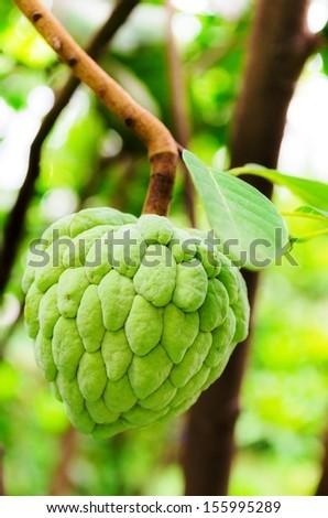 Custard apple - stock photo