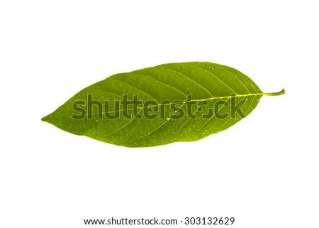 Custard Apple leaf isolated on white background
