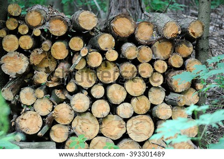 Cut and stacked pine timber in spruce forest on a clear day at spring. - stock photo