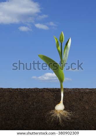 Cut Away of a Tulipa Gesneriana or Tulip and Root System in Daylight