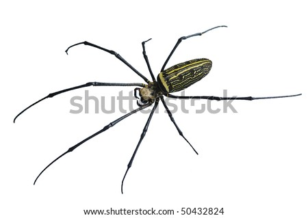 Cut-out of a female Giant Golden Orb Weaver Spider in northern Thailand - stock photo