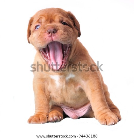 Cut puppy happily yawning wide open, isolated - stock photo