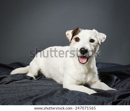 Cute adult Jack Russell terrier, five and half years old male - studio shot and gray background - stock photo