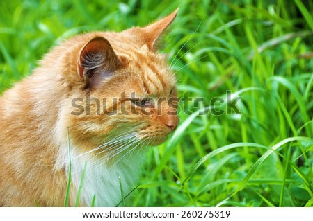 cute adult red color cat, profile - stock photo