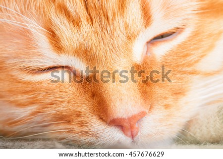 Cute adult sleeping red cat close up