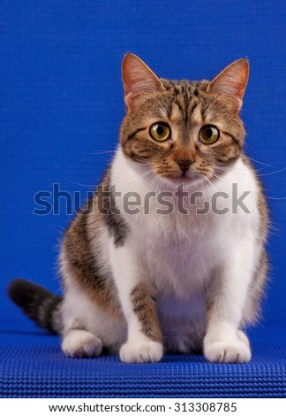 Cute adult tabby with yellow eyes over blue background - stock photo