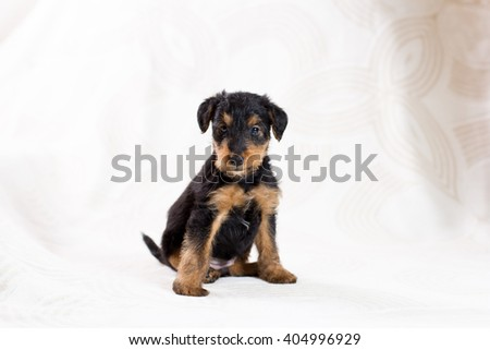 cute Airedale terrier puppy posing   - stock photo