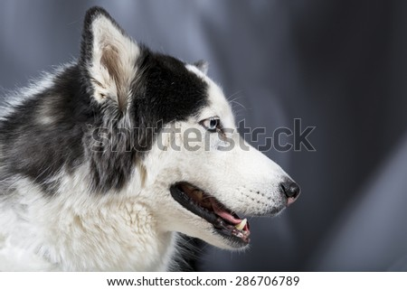 Cute Alaskan Malamute Husky breed dog standing and smiling With copy space.