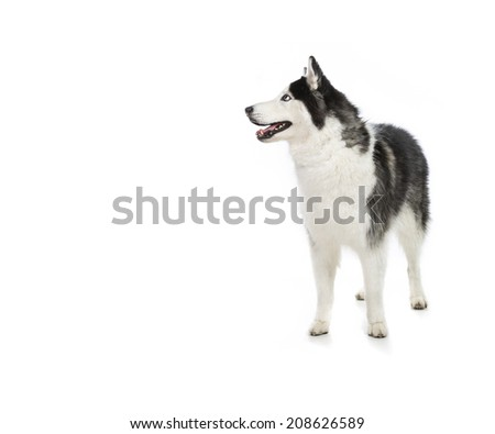 Cute Alaskan Malamute or Husky breed dog standing and smiling and  isolated on white in Black and white.  - stock photo