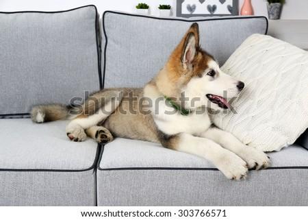 Cute Alaskan Malamute Puppy On Sofa Stock Photo 305808746 ...