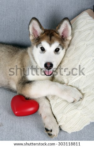 Cute Alaskan Malamute puppy with red heart on sofa, close up - stock photo