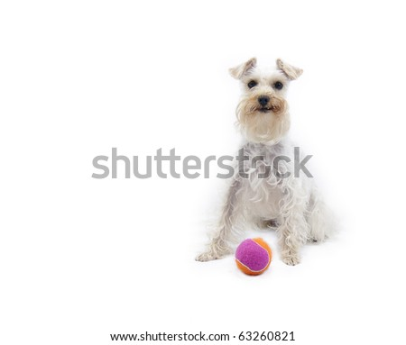 Cute, alert white miniature schnauzer dog sitting up with brightly colored ball at her feet, hoping for a game of fetch - stock photo