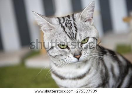 cute american short hair cat  - stock photo