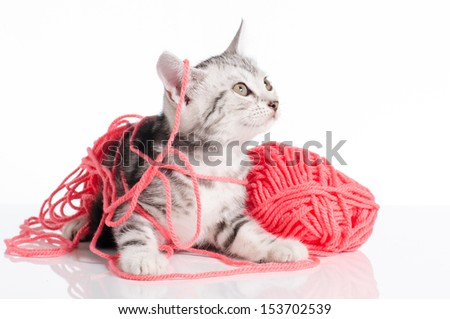 Cute american Short hair cat with a Pink ball of yarn on white background - stock photo
