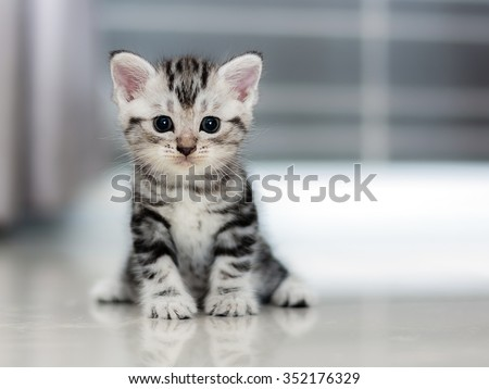 Cute American shorthair cat kitten - stock photo