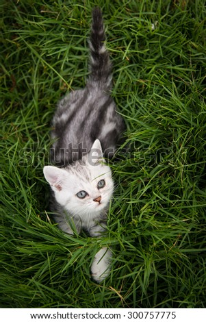 Cute American Shorthair kitten lying and looking up on green grass - stock photo