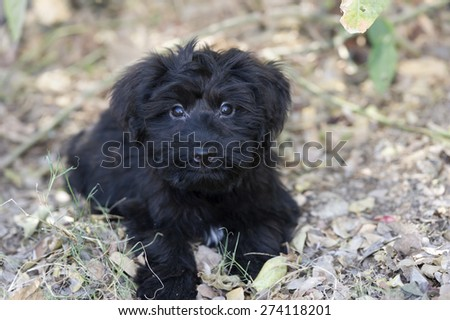 Cute and adorable black puppy has big puppy love eyes in an outdoors closeup.. - stock photo