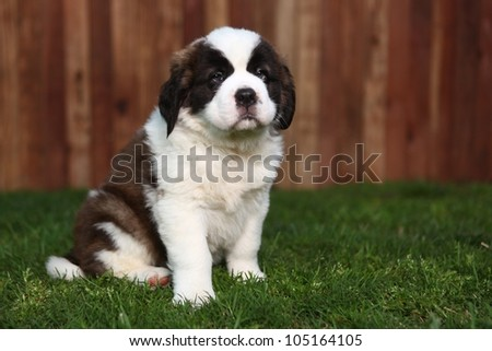 Cute and Adorable Saint Bernard Pup - stock photo