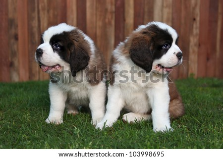 Cute and Adorable Saint Bernard Pups - stock photo