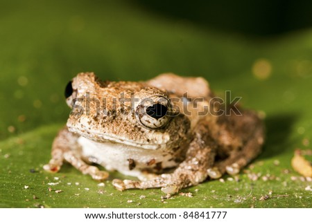 cute and colorful Meintein Tree Frog peeking over a leaf in forest - stock photo
