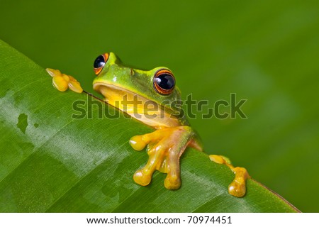 Cute and colorful Orange thighed tree frog (Litoria xanthomera) peeking over a banana leaf. - stock photo