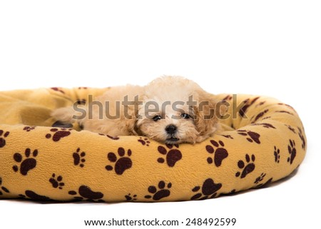 Cute and curious poodle puppy resting on her generic bed - stock photo