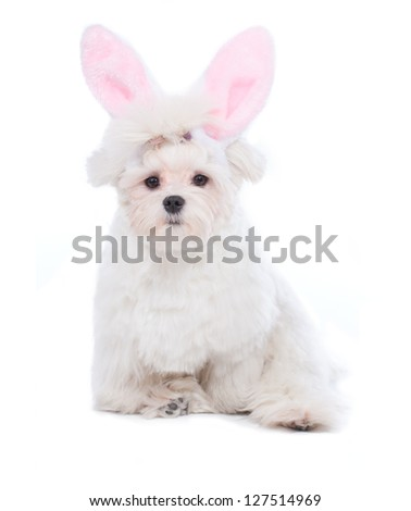 Cute and fluffy Maltese as a bunny for Easter.
