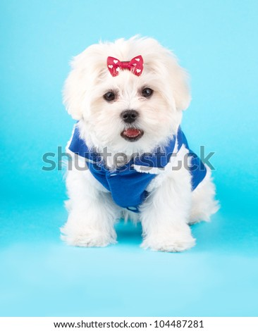 Cute and fluffy young Maltese puppy, wearing red bow and blue dog coat