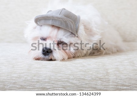 Cute and fluffy young Maltese, wearing cap, sleeping on sofa. - stock photo