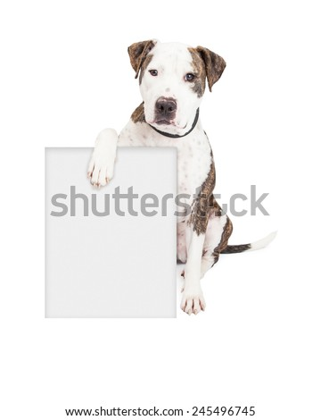 Cute and friendly Pit Bull Dog holding a blank sign to enter your marketing message on. - stock photo