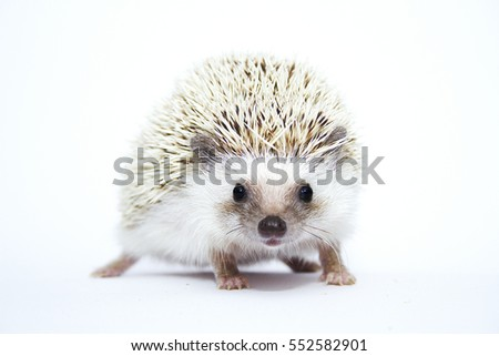 cute and fun chocolate african pygmy hedgehog girl in white background