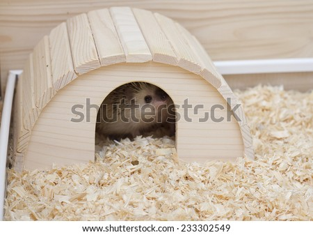 cute and fun hedgehog baby with breeding facility home background - stock photo