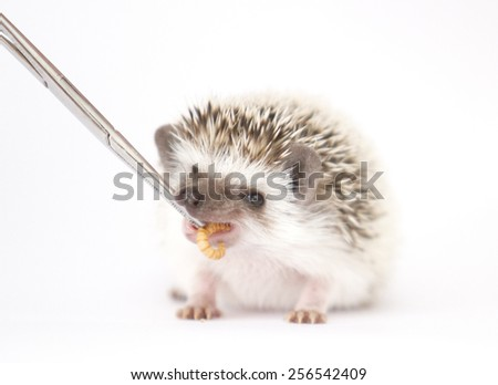 cute and fun young rodent hedgehog baby background - stock photo