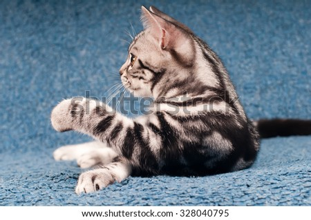 Cute and funny american shorthared kitten at home