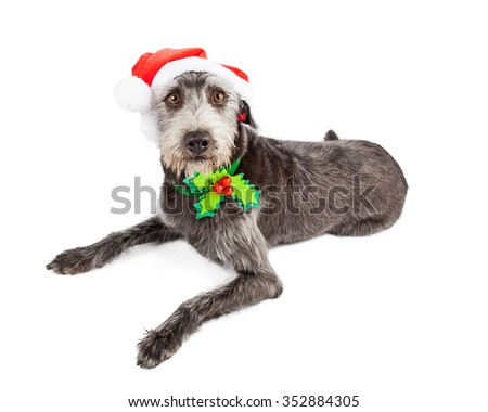 Cute and funny looking terrier mixed breed dog wearing a Christmas Santa Claus hat and collar with holly on it